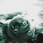 La rose de nos matins