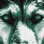Dans les yeux d'un loup