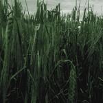 Le souvenir d'un champ de blé
